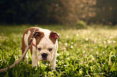 sad-looking bulldog in the park, backlit by sunlight