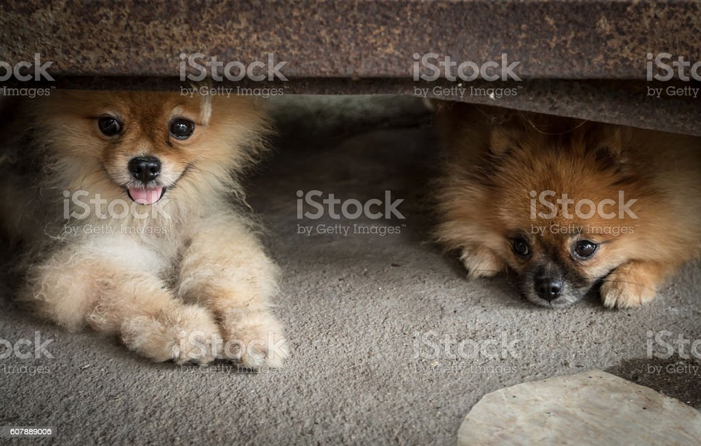 Sadness dog pomeranian was waiting for his owner. stock photo