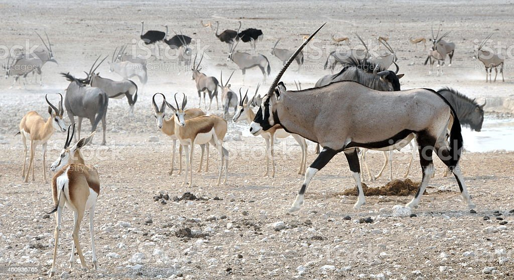 Safari animals stock photo