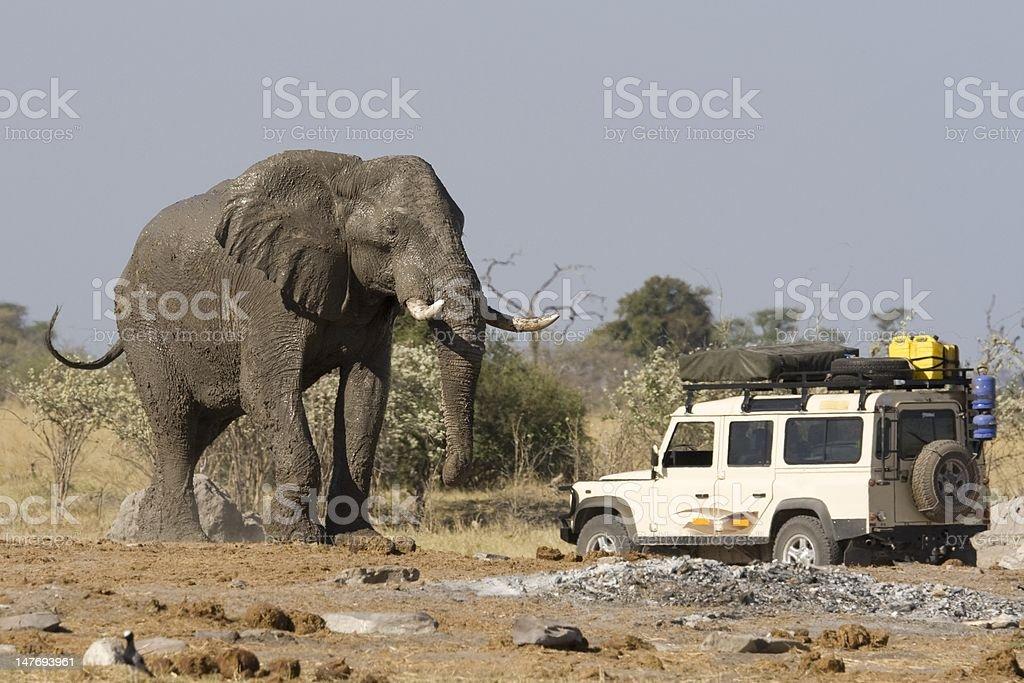 Safari car near elephant in Botswana stock photo