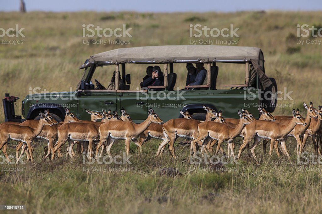 Safari car with herd of Impalas stock photo