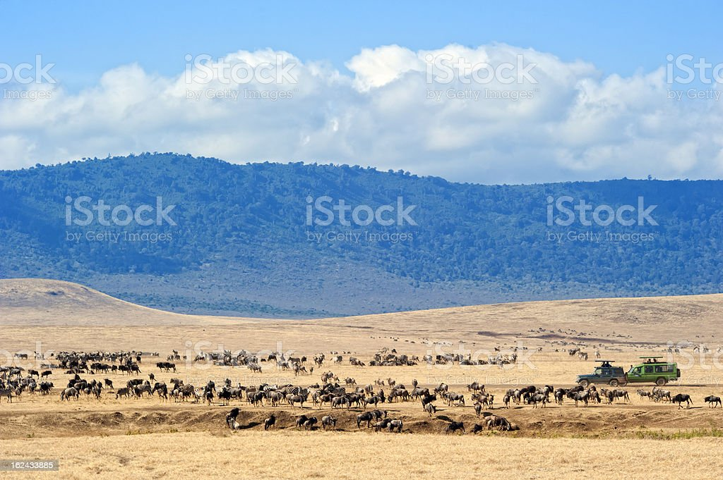 Safari cars in middle of Wildebeests and Zebras, Ngorongoro Crater royalty-free stock photo
