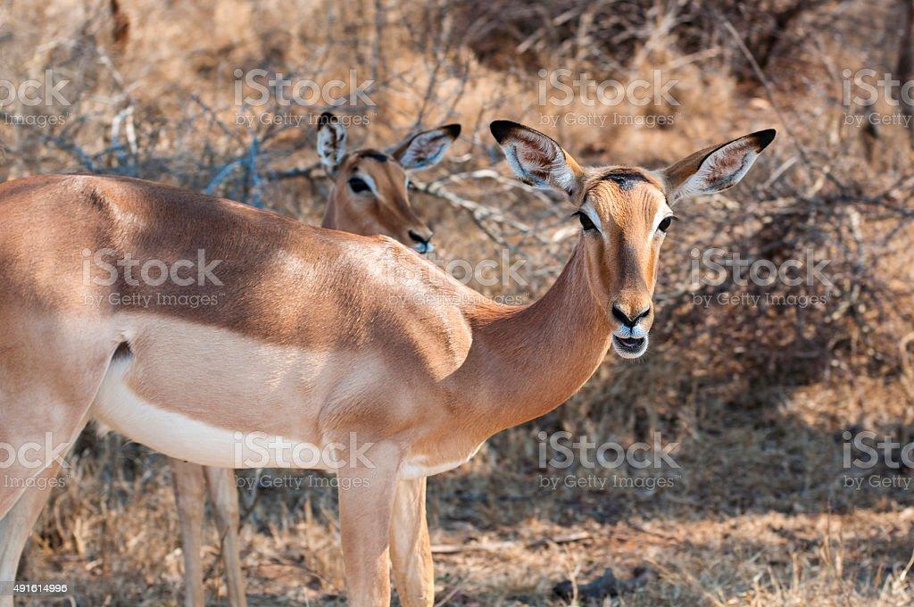 Safari in Africa - Two Impala Mozambique stock photo