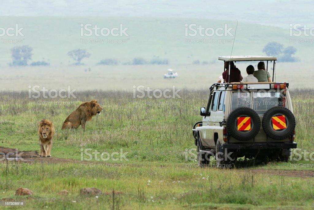 A safari jeep near a pride of lions in a field stock photo