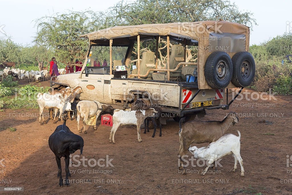 Safari jeep surrounded by goats in maasai village. stock photo