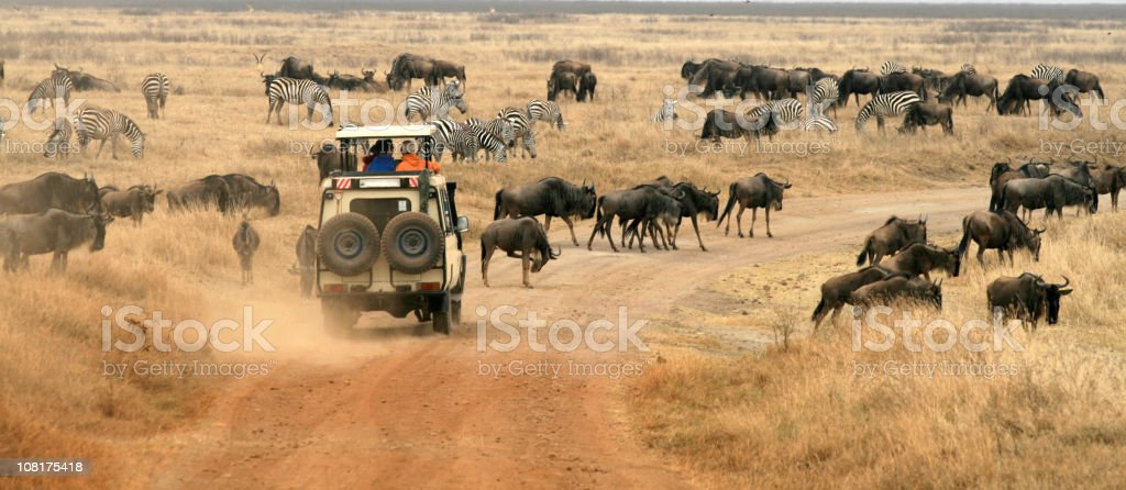 Safari Vehicle Looking at Herd of Wildebeest stock photo