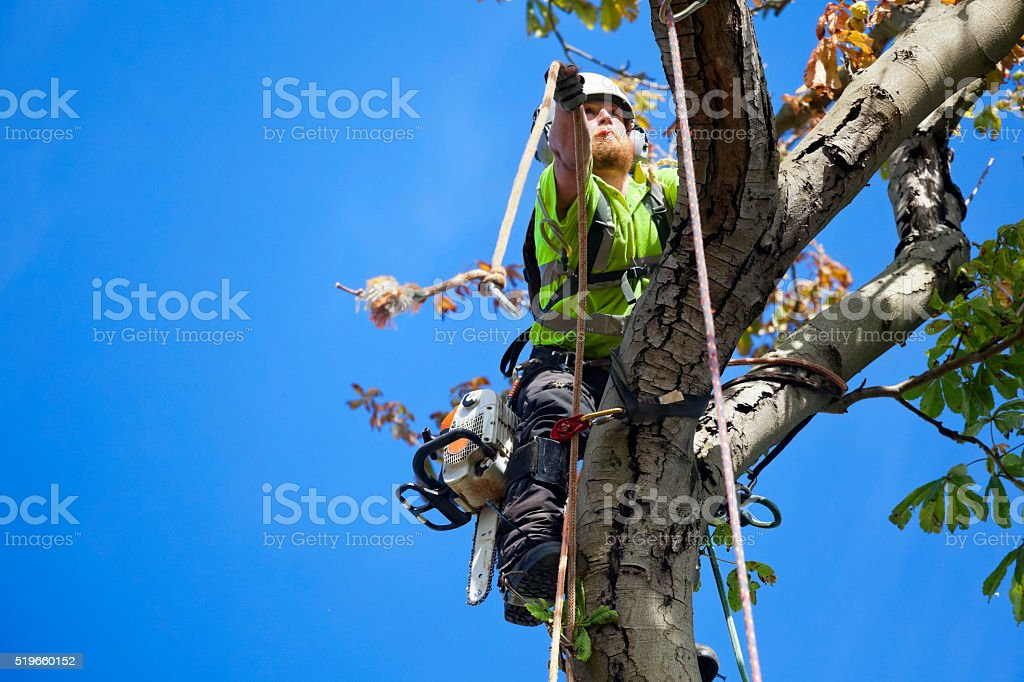 Safety First for Tree Surgeon Tree Felling stock photo