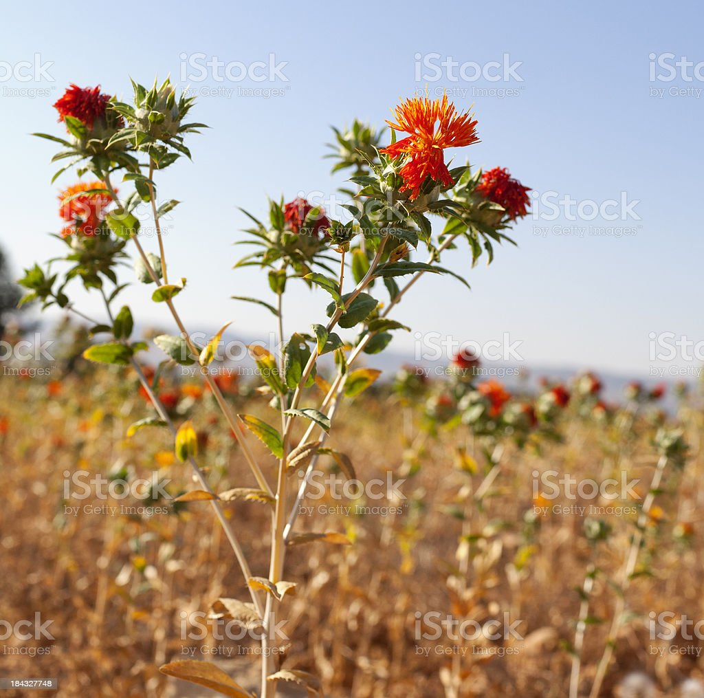 Safflower Field royalty-free stock photo