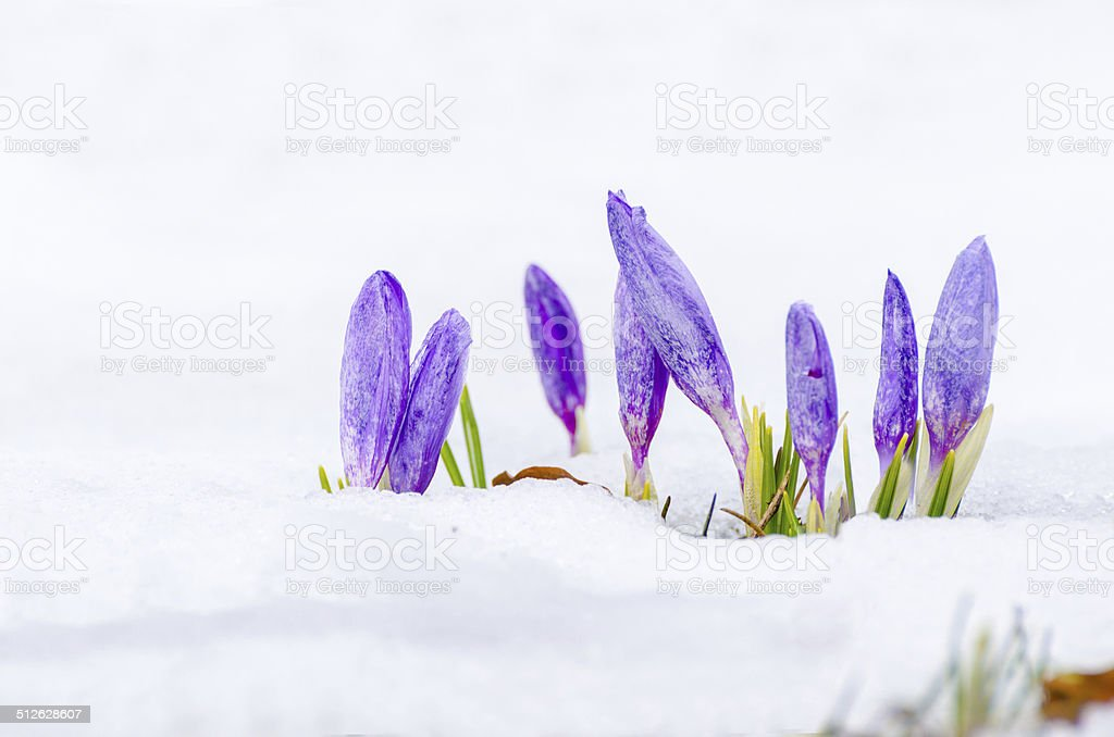 saffron crocus over snow first spring flower closeup stock photo