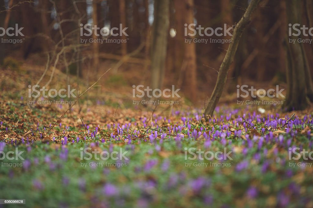 Saffron Crocus stock photo