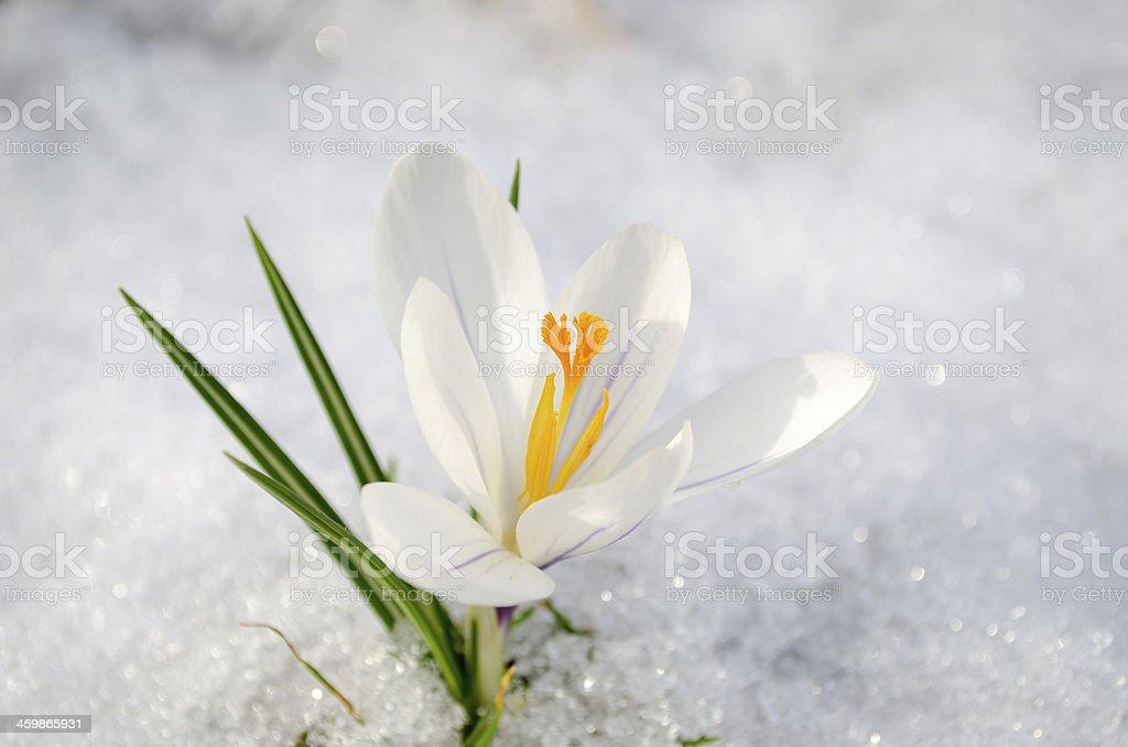 saffron crocus white spring bloom closeup in snow stock photo