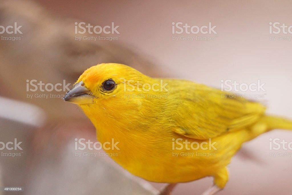 Saffron finch stock photo