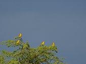 Saffron Finches in Chiclayo Peru
