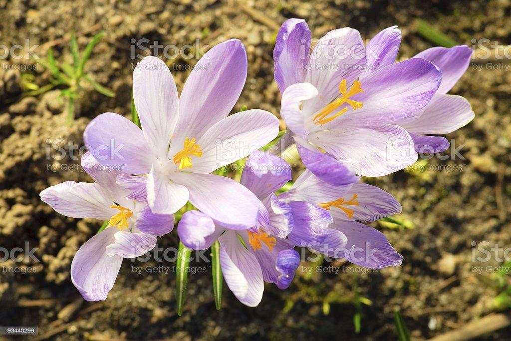 Saffron flowers on soil - spring symbol royalty-free stock photo