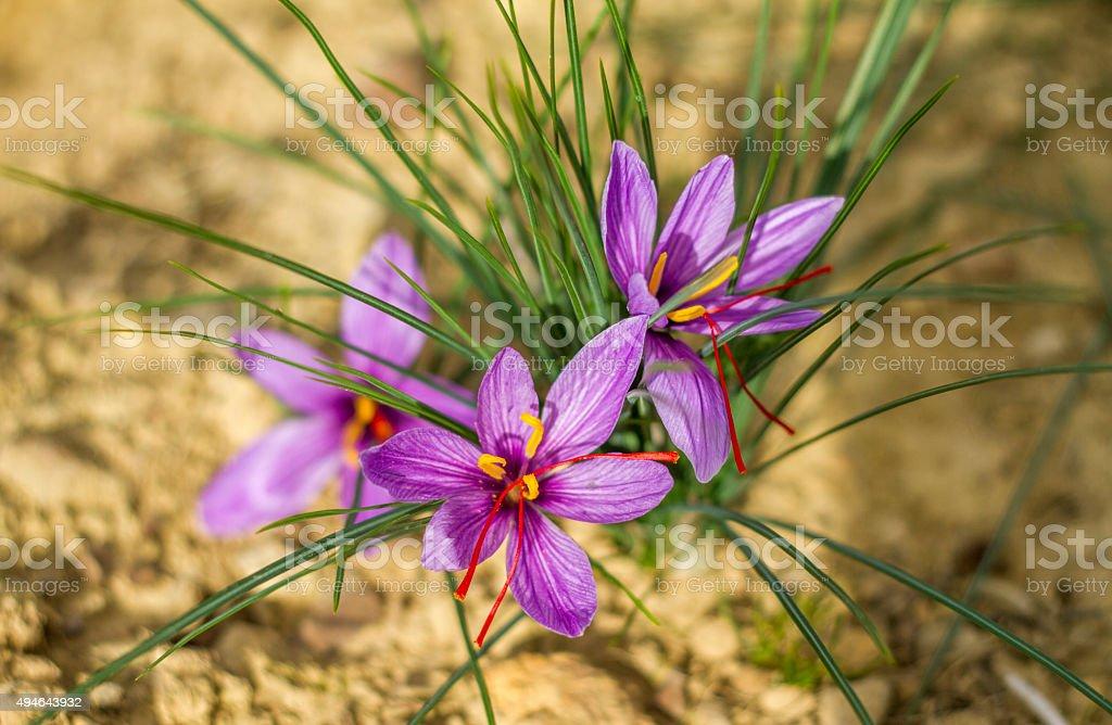 Saffron Blumen Lizenzfreies stock-foto