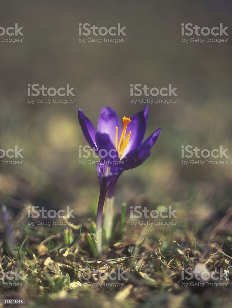 Saffron. royalty-free stock photo