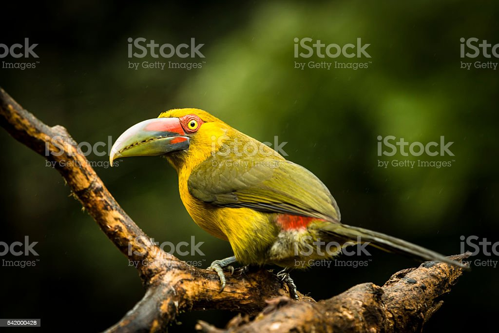 Saffron Toucanet (Pteroglossus bailloni) stock photo