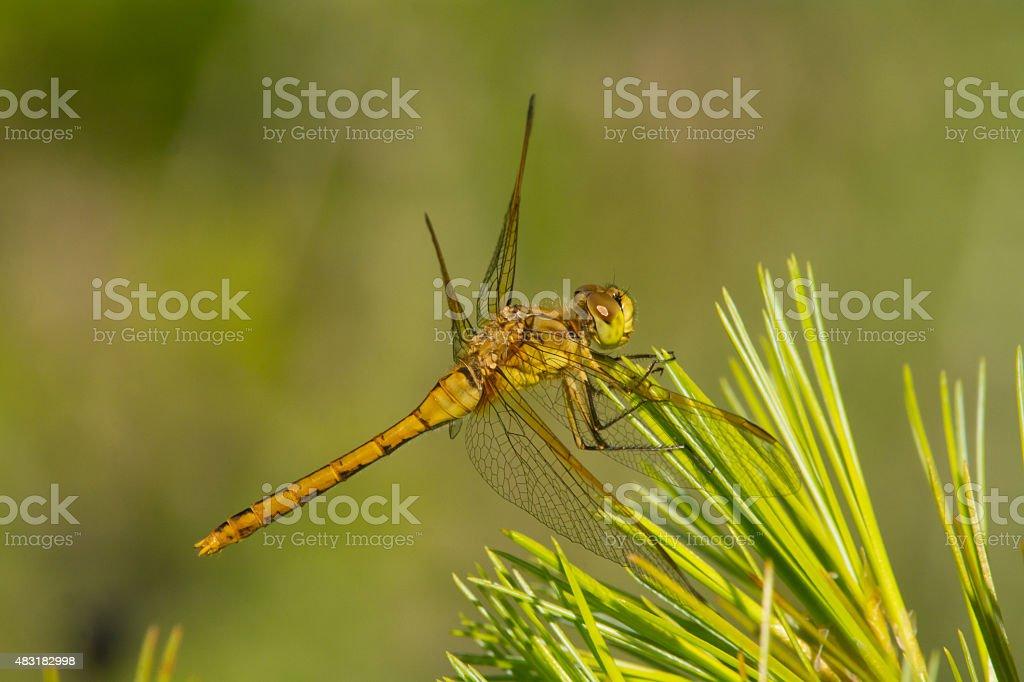 Saffron-winged Meadowhawk stock photo