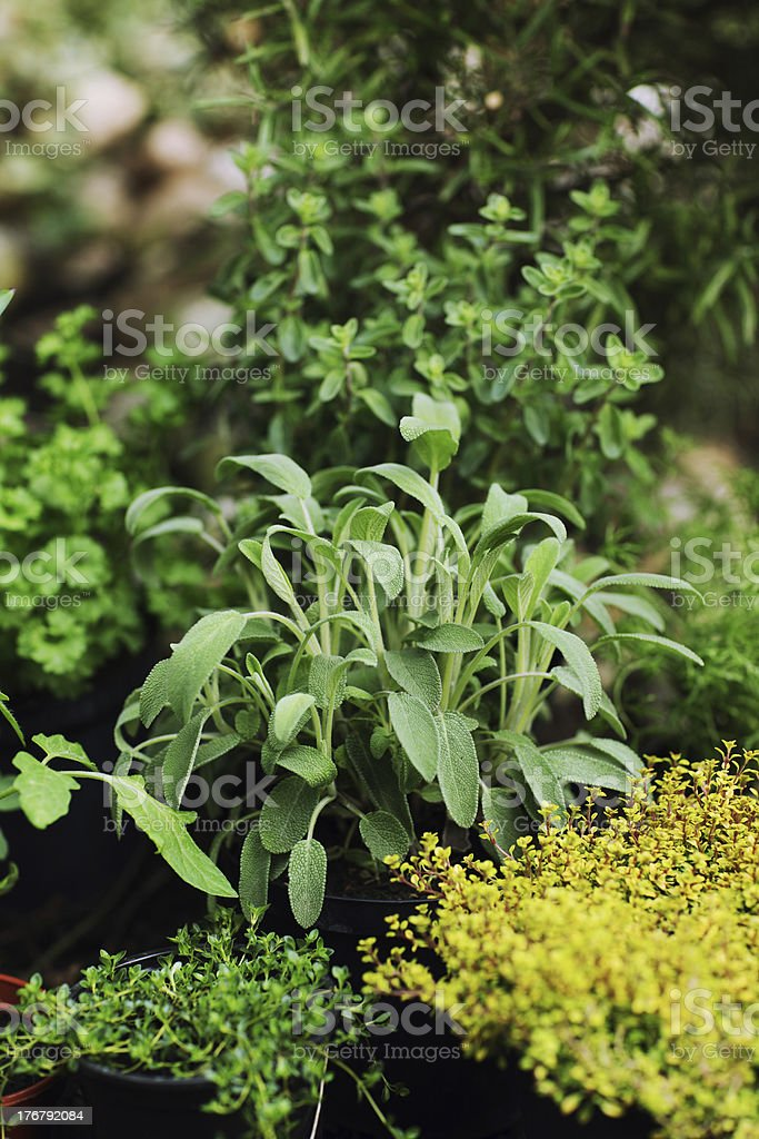 Sage and thyme royalty-free stock photo