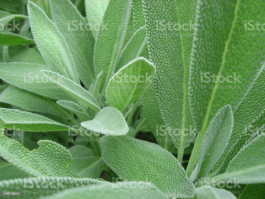 Sage Close Up stock photo
