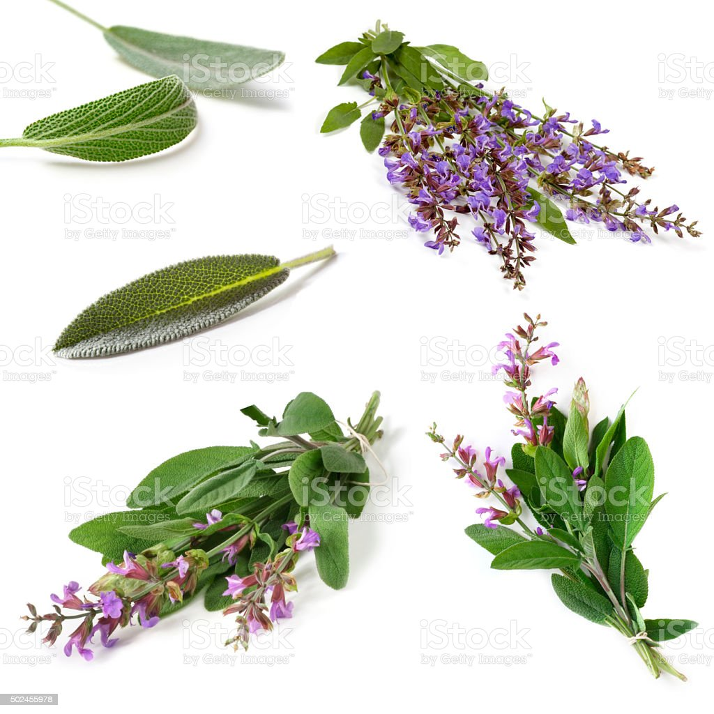 Sage Collection Isolated stock photo