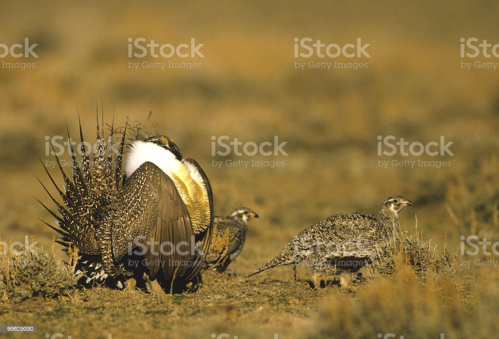 Sage Grouse on Lek royalty-free stock photo