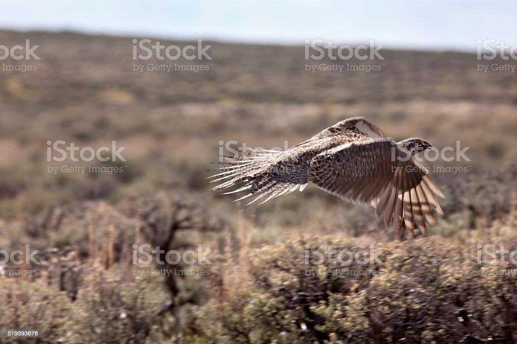 Sage grouse takes flight Dinosaur National Monument Colorado copy space stock photo