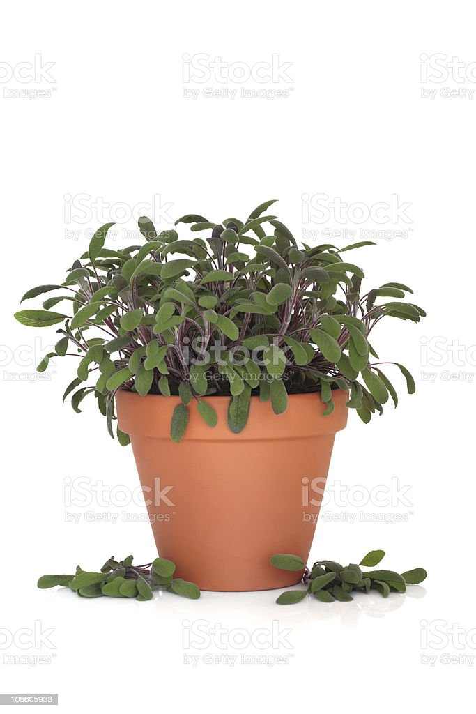 Sage Herb Plant stock photo