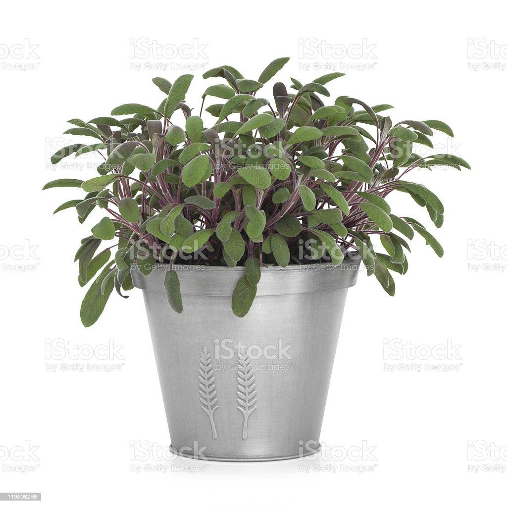 Sage Herb Plant royalty-free stock photo
