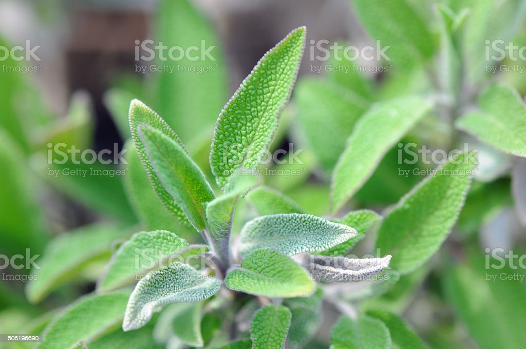 Sage (Salvia) herbal plant stock photo