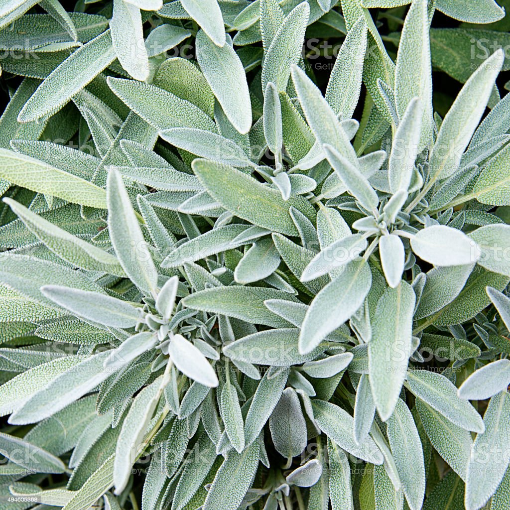 Sage leaves in the herb garden - Salvia officinalis stock photo
