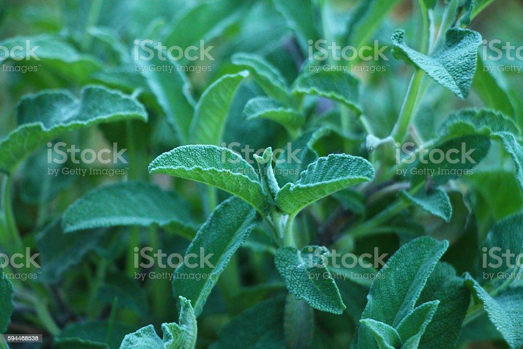 Sage plant background stock photo