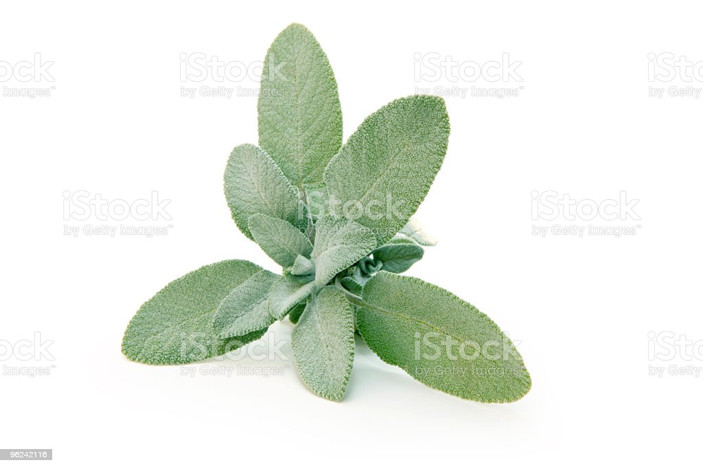 Sage plant with green leaves on white background stock photo