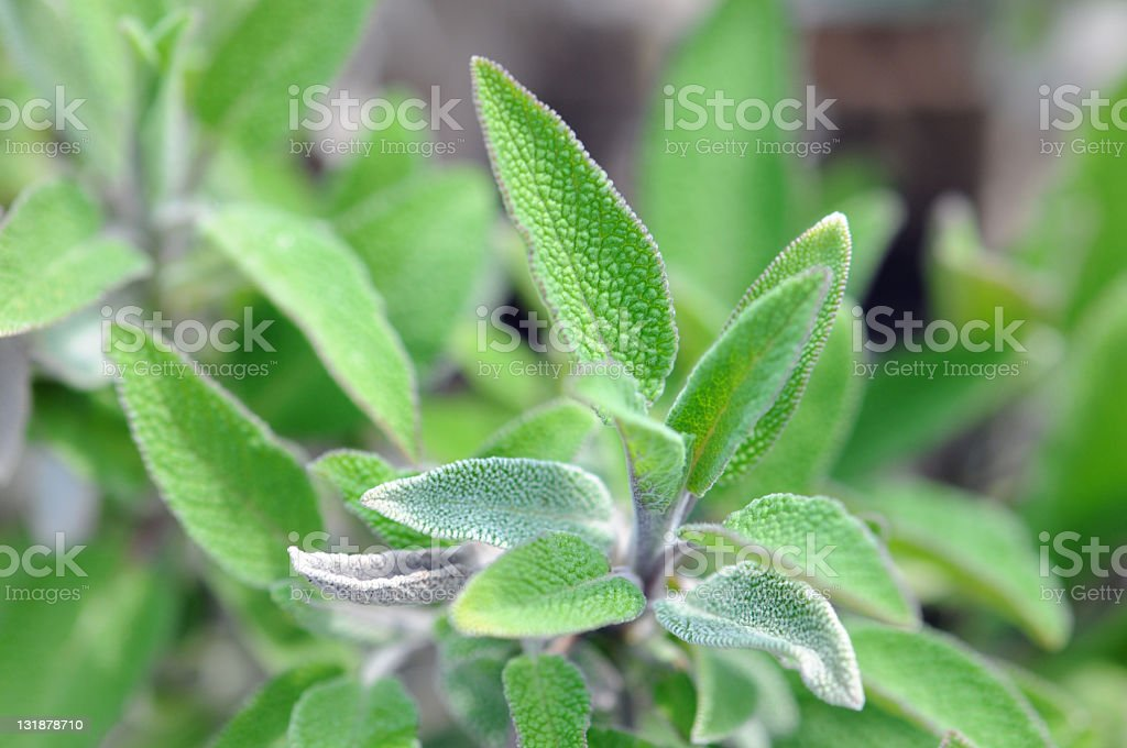 Sage (Salvia) Salbei stock photo