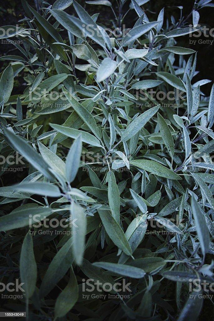 Sage (Salvia) Salbei royalty-free stock photo