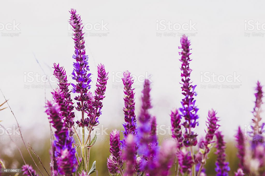 sage salvia plant purple flower garden nature leaf green blossom stock photo