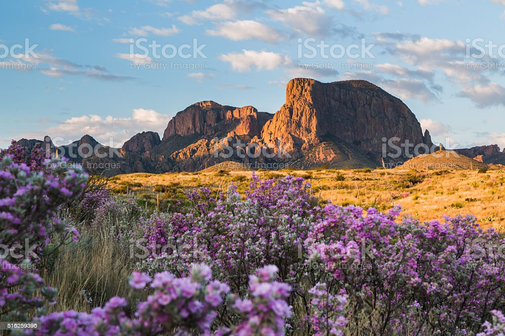 Sagebrush in Bloom at the Chisos stock photo