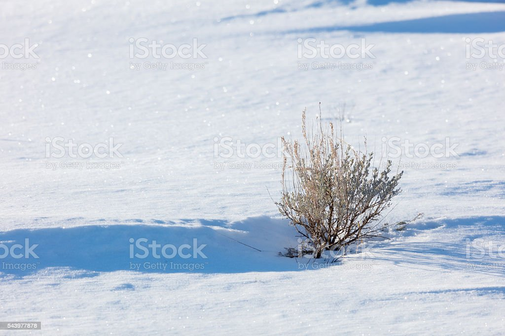 Sagebrush in Winter Snow stock photo