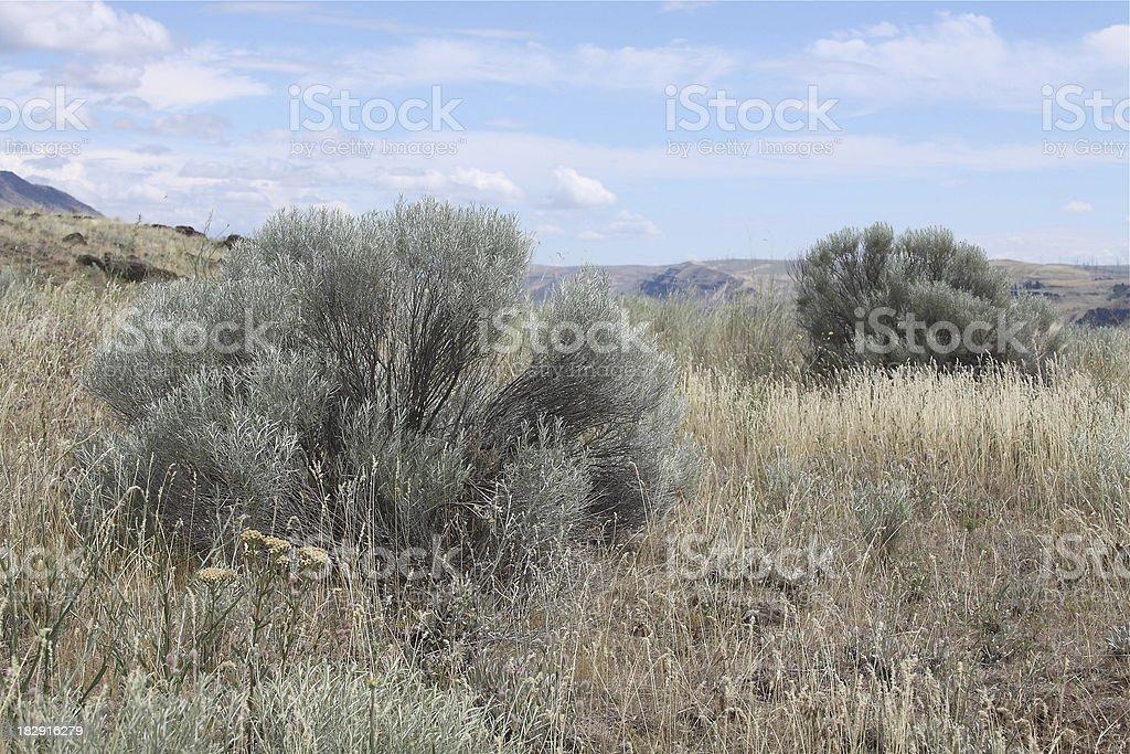 Sagebrush stock photo