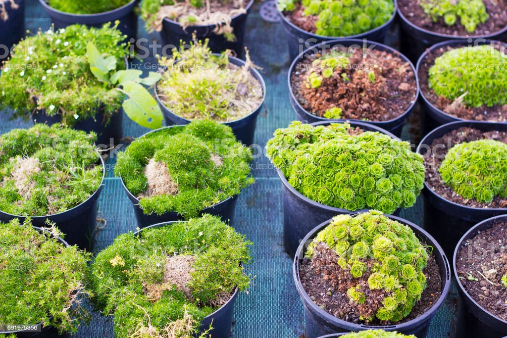 Sagina blooming plants and Saxifraga plants and in black pots for sale at garden center stock photo