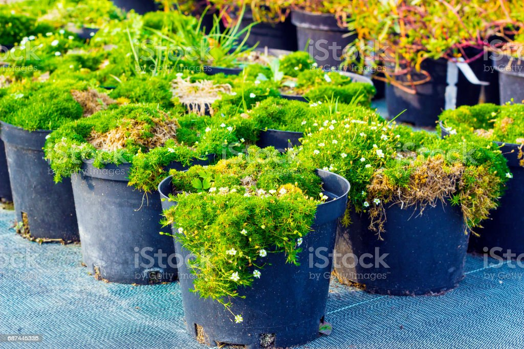 Sagina blooming plants in pots for sale. Irish moss in flowerpots stock photo