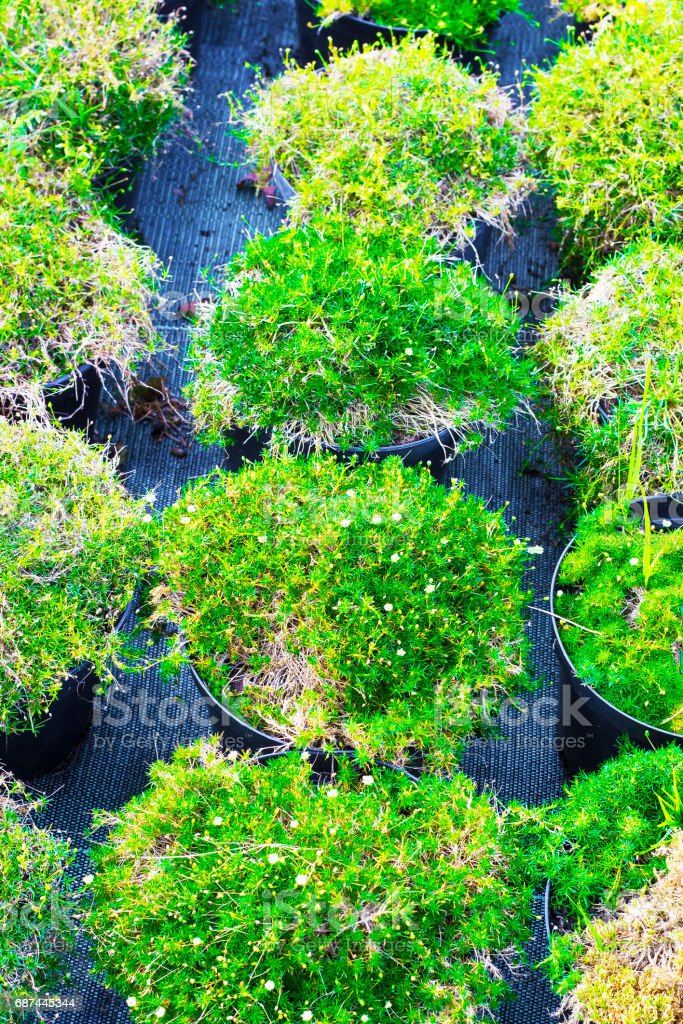 Sagina blooming plants in pots for sale. Irish moss in flowerpots top view stock photo