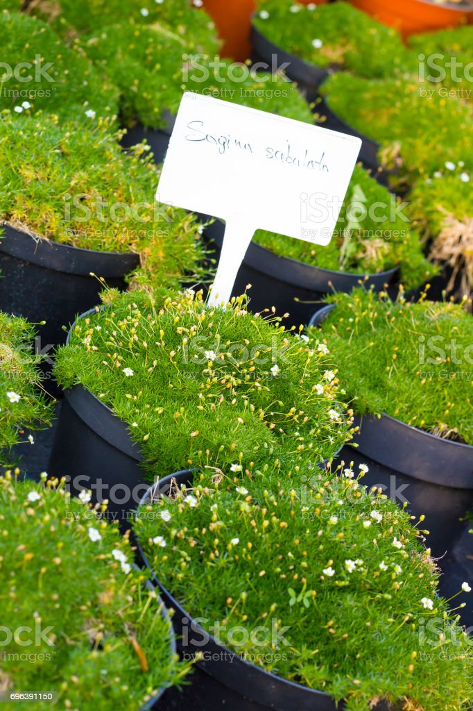 Sagina Subulata blooming plants in pots for sale. Irish moss in flowerpots stock photo