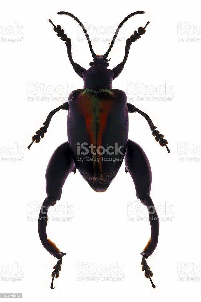 Sagra Beetle Specimen stock photo