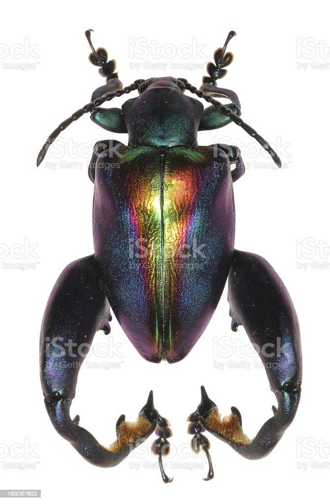 Sagra buqueti, frog-legged leaf beetle stock photo