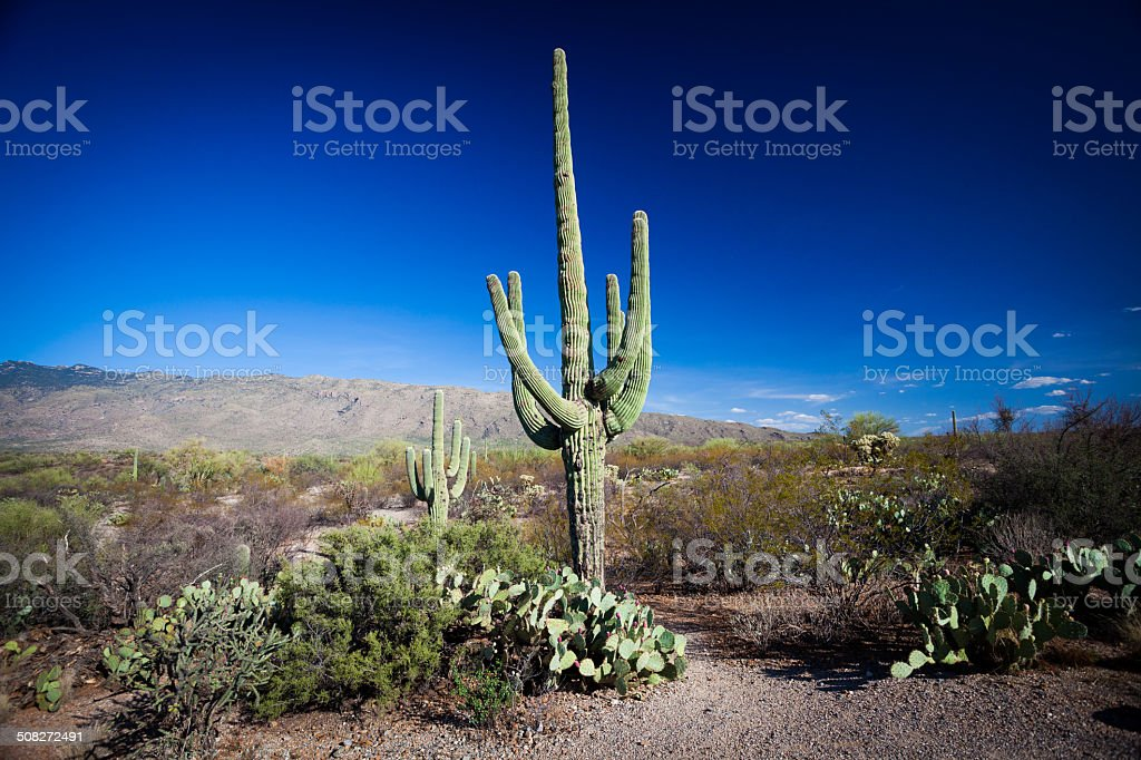 Saguardo Cactus in National Park royalty-free stock photo
