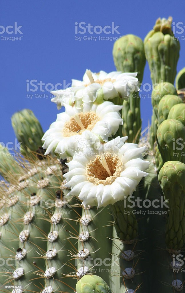 Saguaro Blossoms stock photo