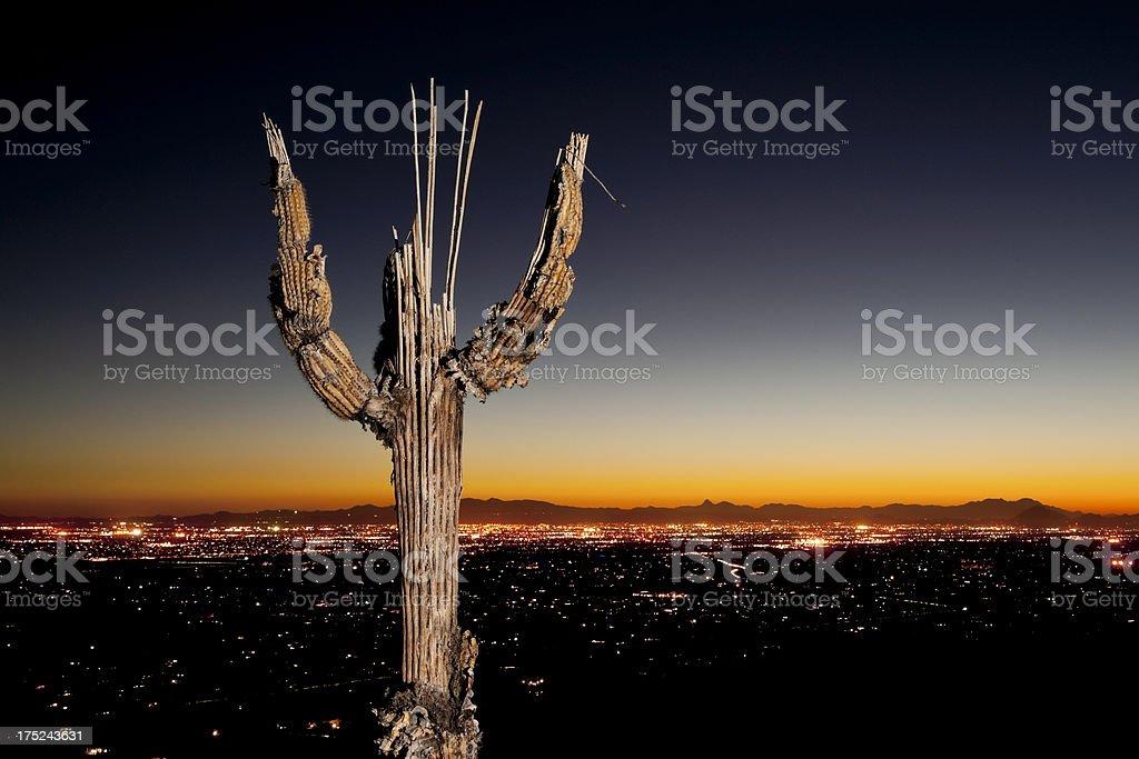 Saguaro Bones and Tucson City Lights royalty-free stock photo
