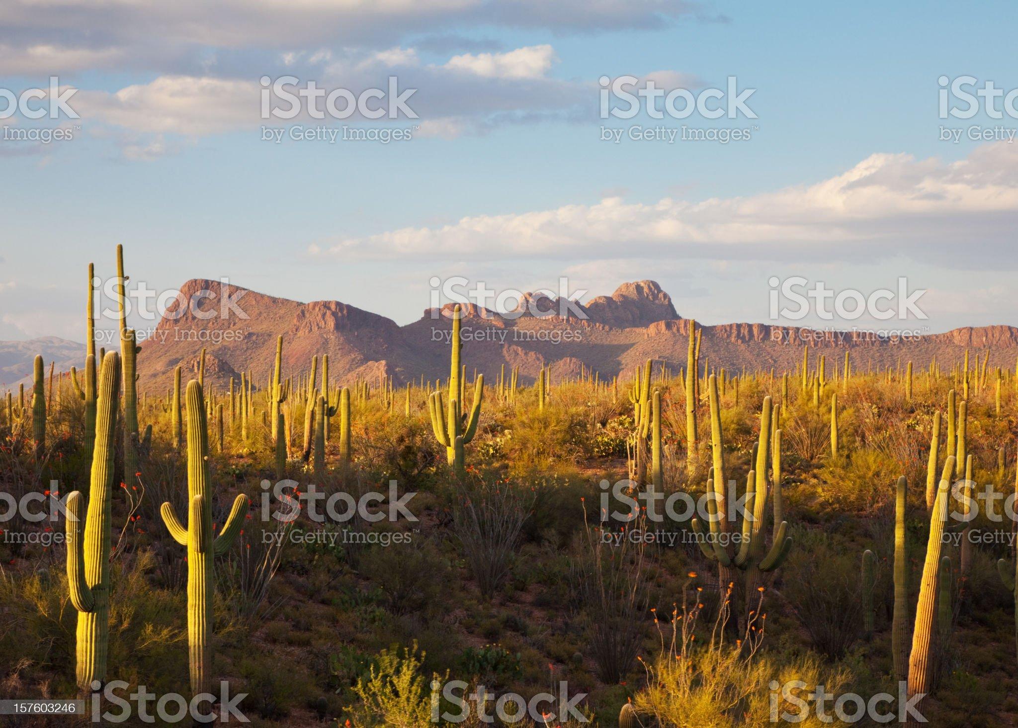 Saguaro Cacti and Desert Mountains royalty-free stock photo
