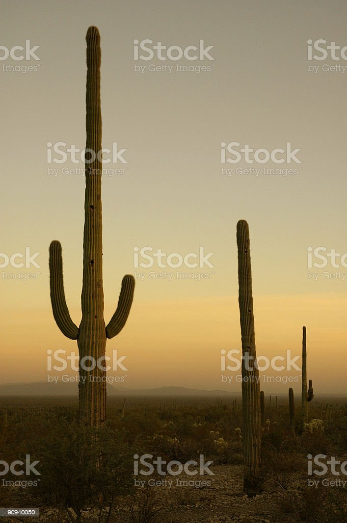 Saguaro cacti at dusk royalty-free stock photo